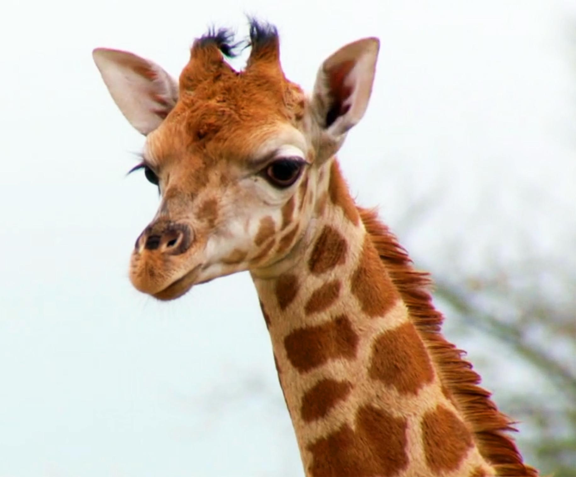 Head of giraffe