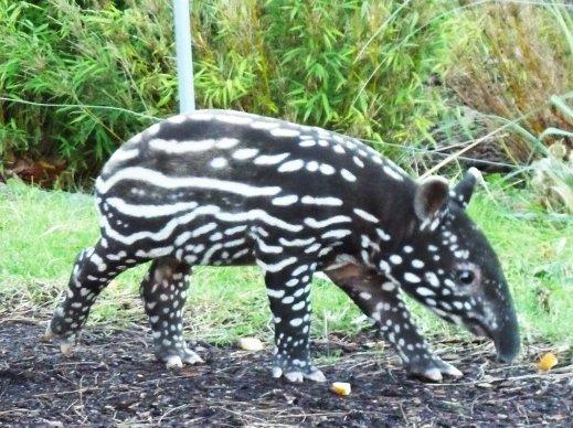 Young tapir alone
