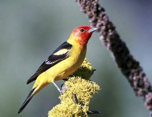 pictures of birds Western Tanager
