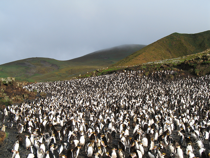 Colony of Royal penguins
