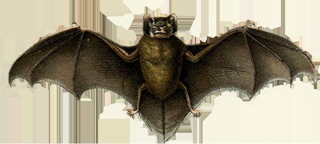 pipistrelle bat drawing