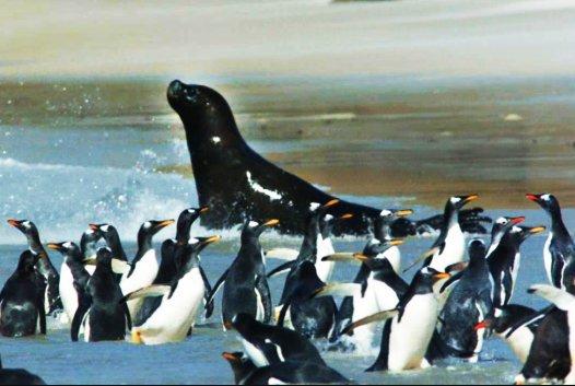 sea lion hunting gentoo penguins