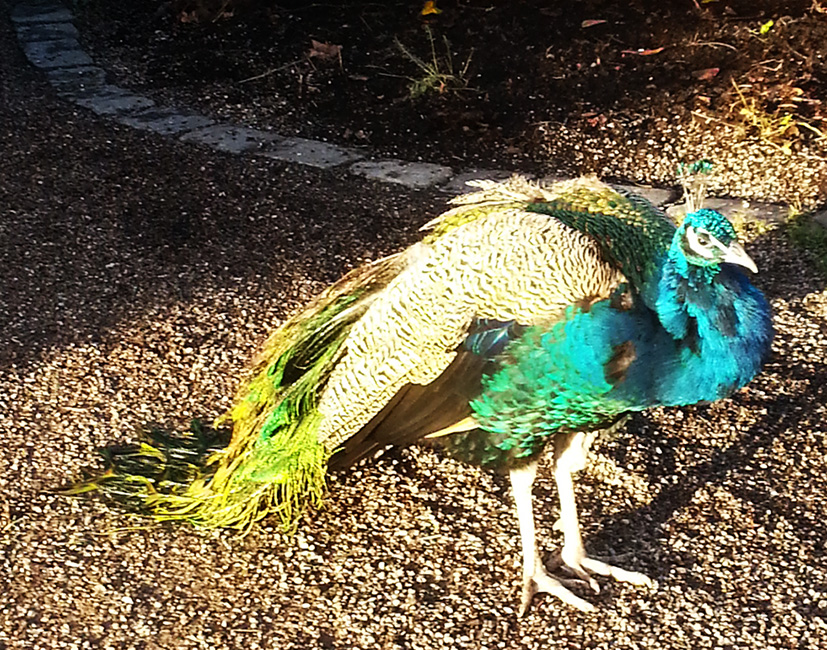 picture of male peacock
