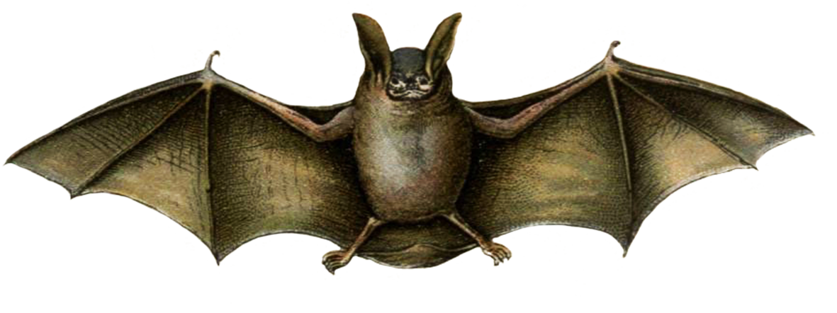 mouse colored bat drawing