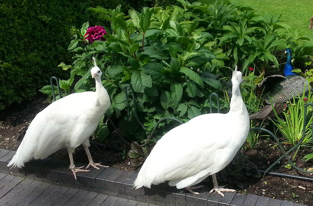 two white peacocks