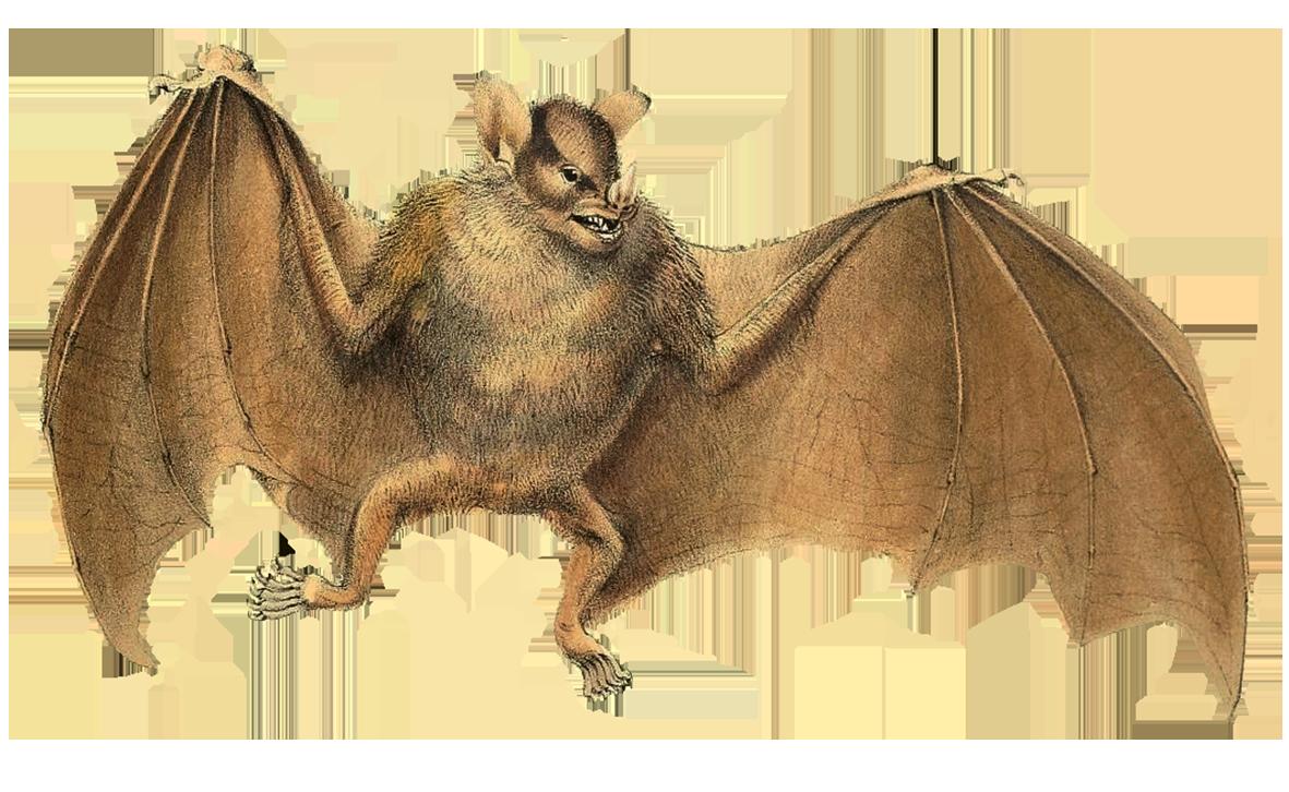 sturnira spectrum bat clipart