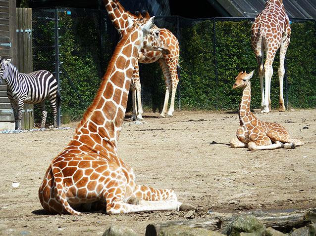 Giraffe pictures giraffe laying down
