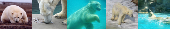 polar bear pictures border