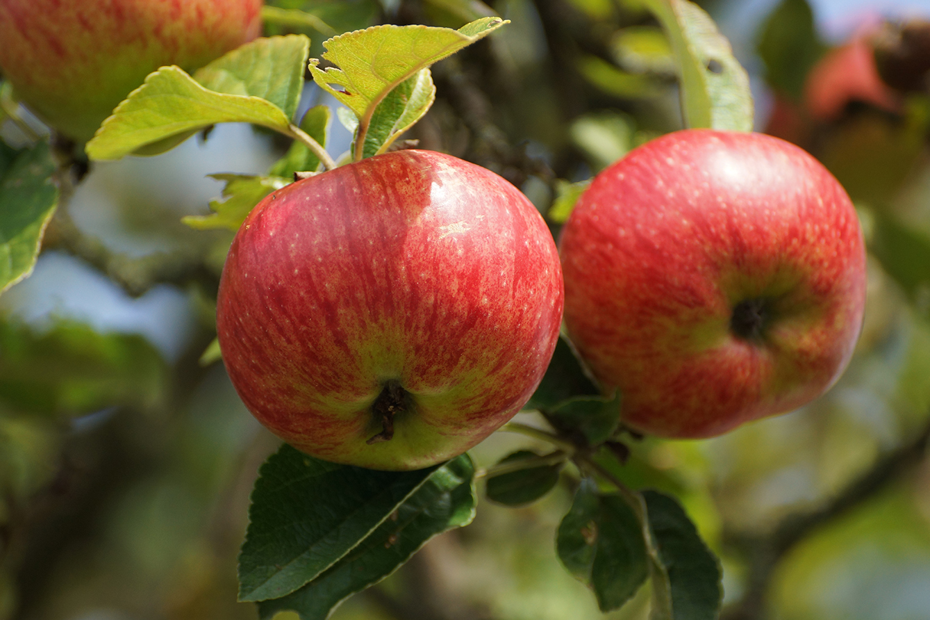 photo of apples in fall