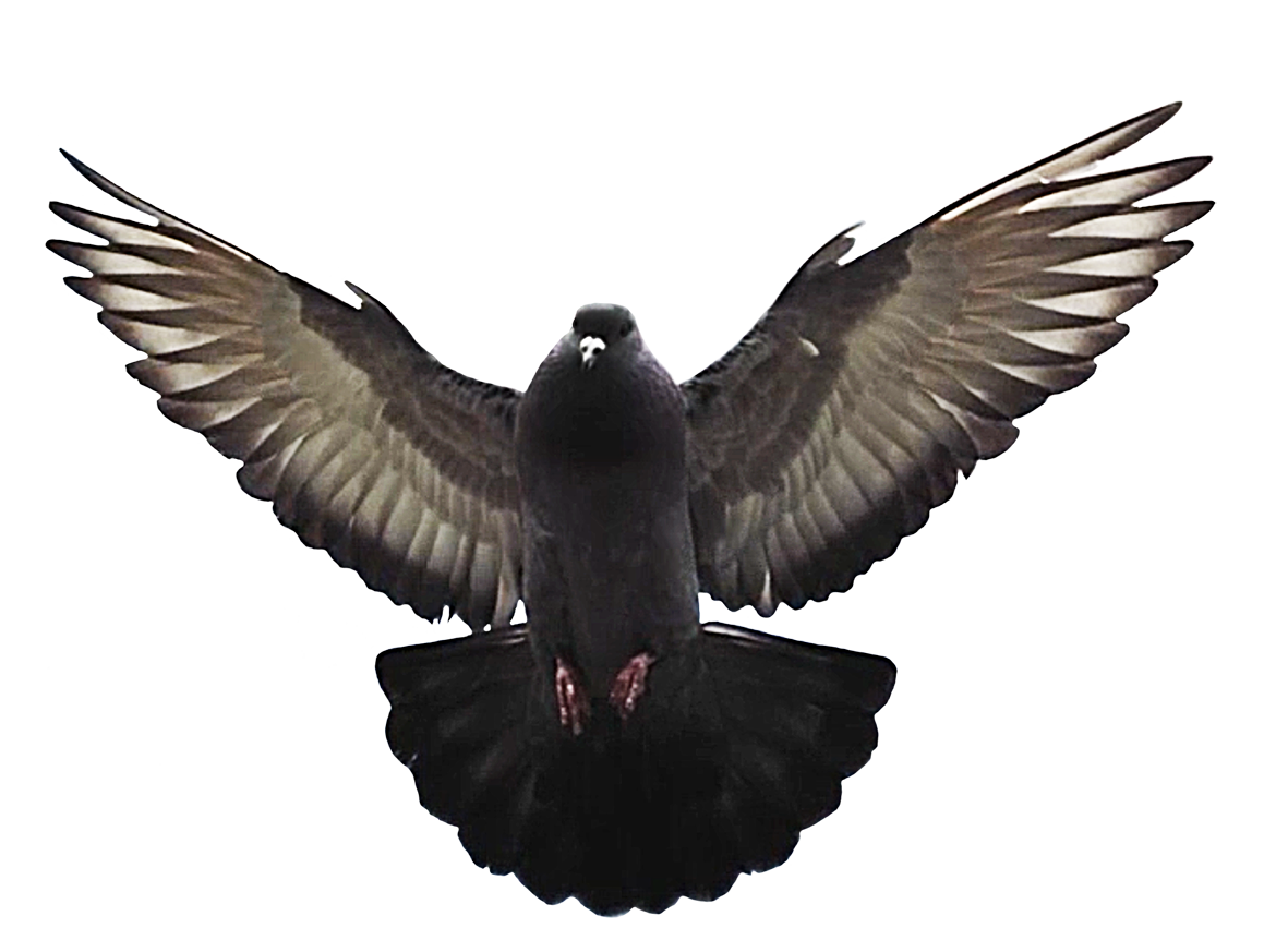 flying pigeon clipart