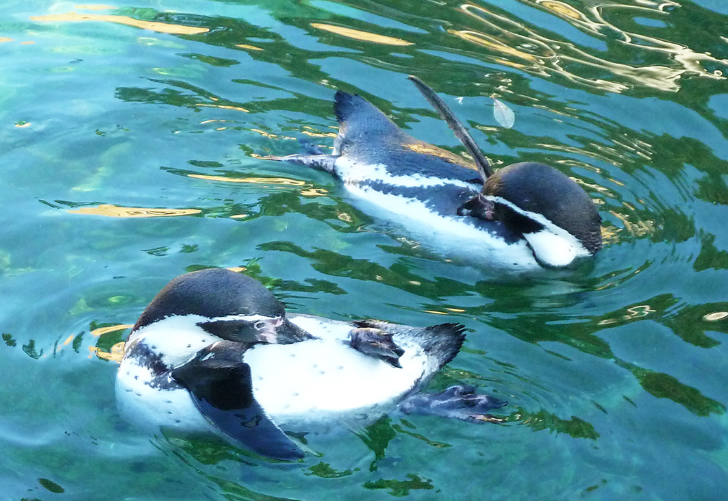 humboldt penguins grooming themselves