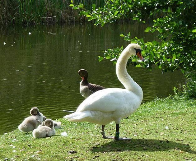 Swan and swanlings