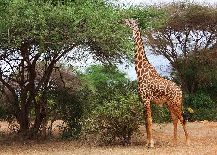 giraffe photo from the bush