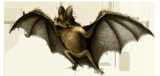 drawing of vampire bat