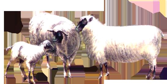 Victorian animal illustrations sheep