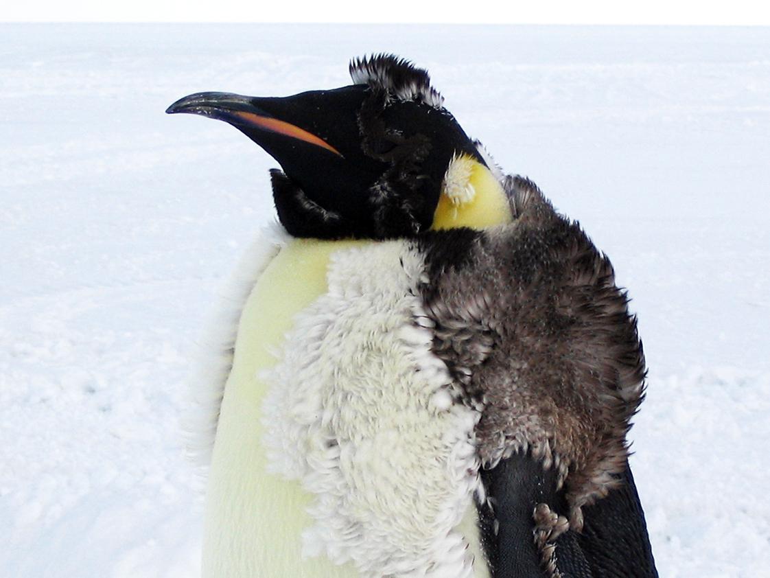 Emperor penguin chick molting