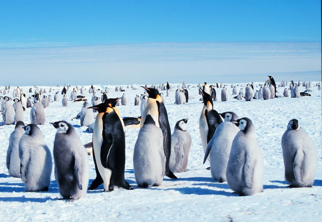 emperor penguins pictures chicks