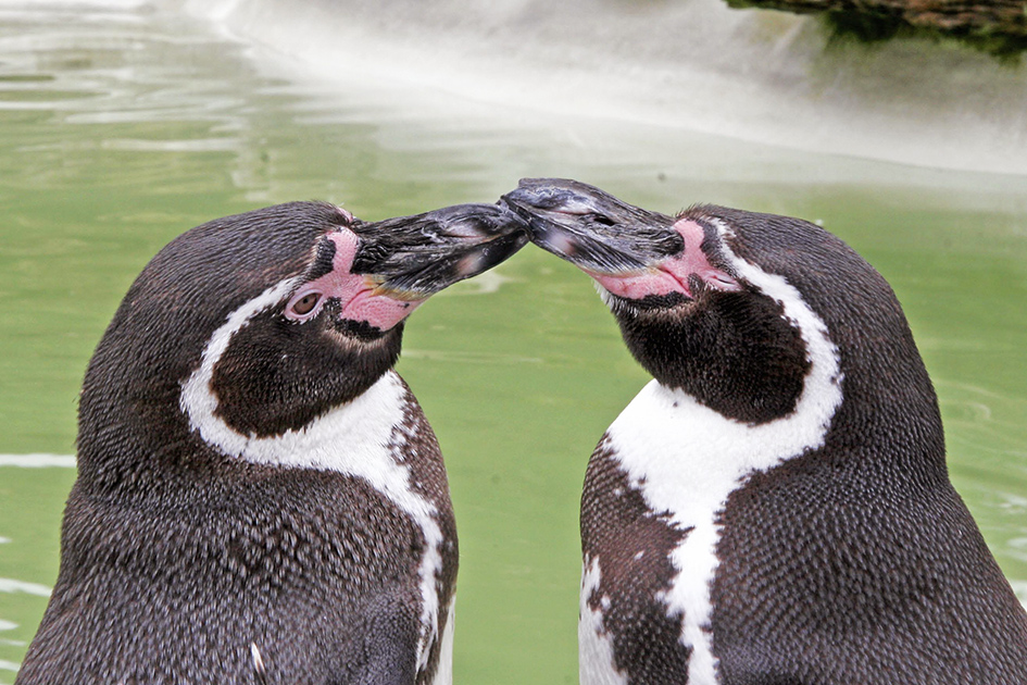 Two humboldt penguins pictures