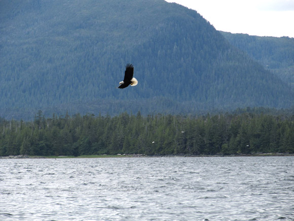 american bald eagle flying over river and mountains