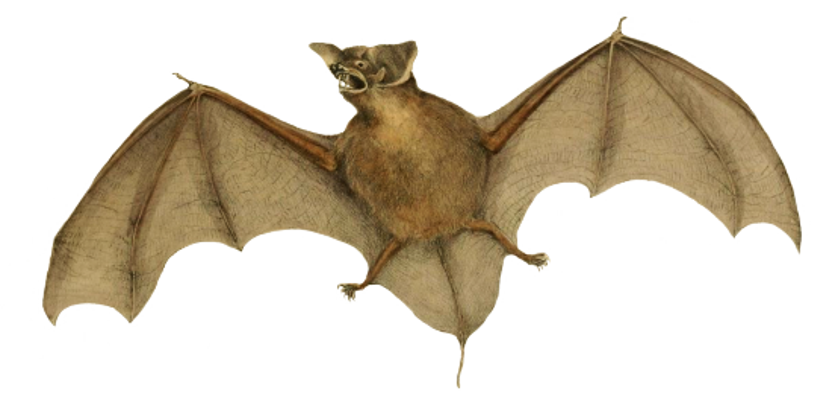molossus bat clipart