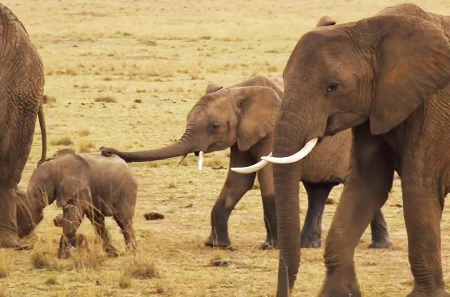 African elephant herd on Savannah