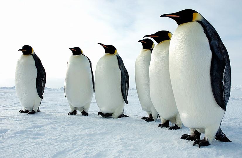 line of emperor penguins