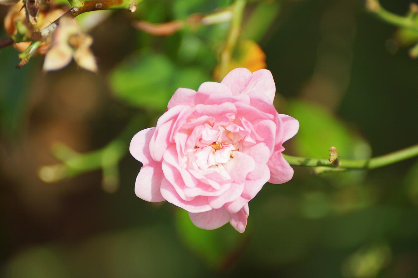 beautiful flower photo pink flower