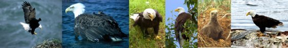 bald eagle pictures border