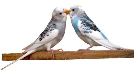 budgerigars kissing