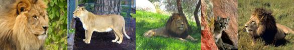 lion pictures border