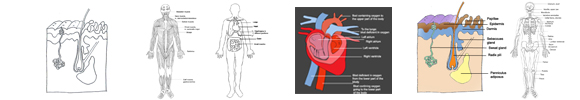 human body diagrams medical images