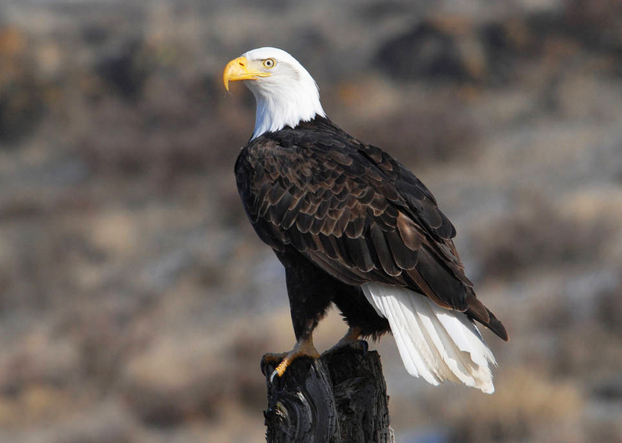 adult bald eagle photo