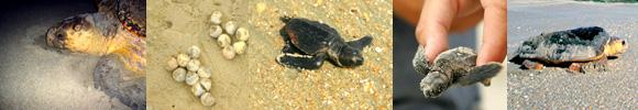 loggerhead sea turtles border