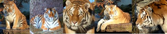 tiger pictures tiger photos border