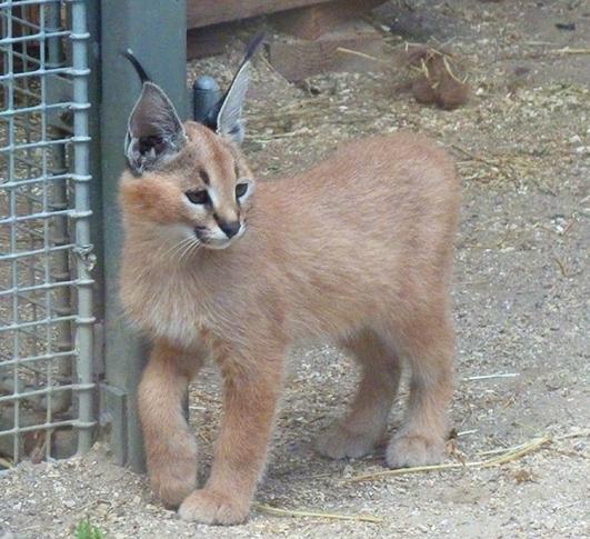 Cute Caracal kitten