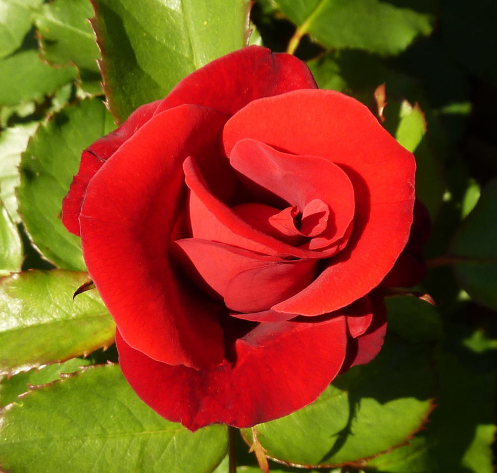 pictures of roses red rose