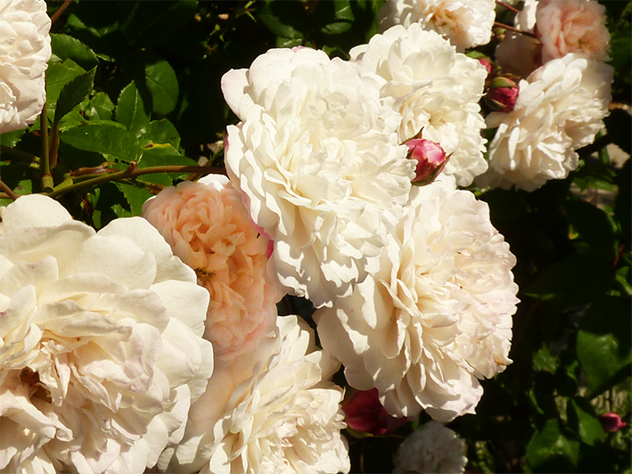 a host of white roses