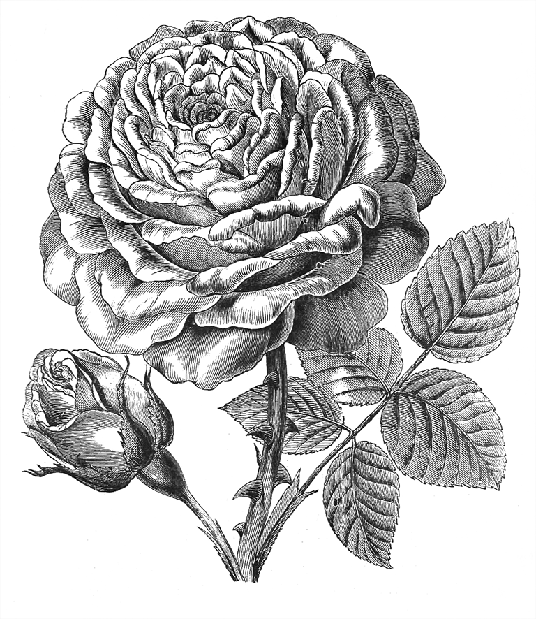 Abel Carriere rose drawing sketch