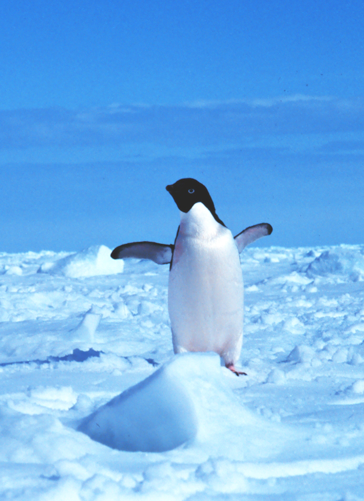 free penguin picture of adelie penguin