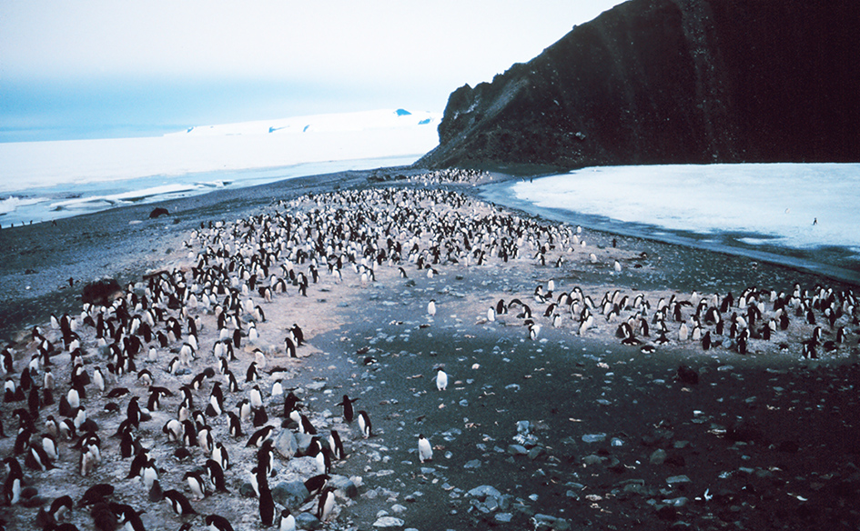 adelie penguins pictures colony