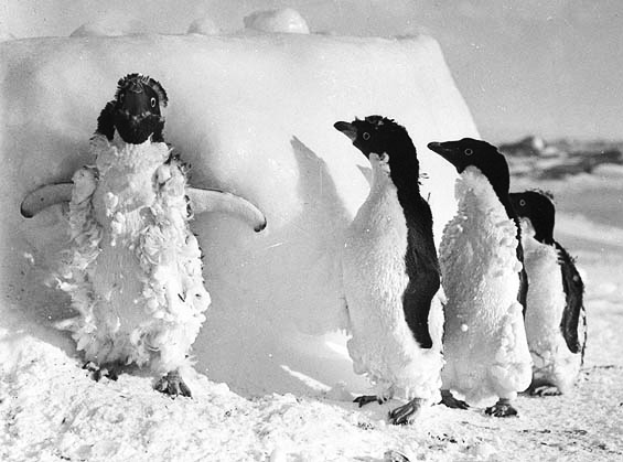 Adelie penguin chicks molting