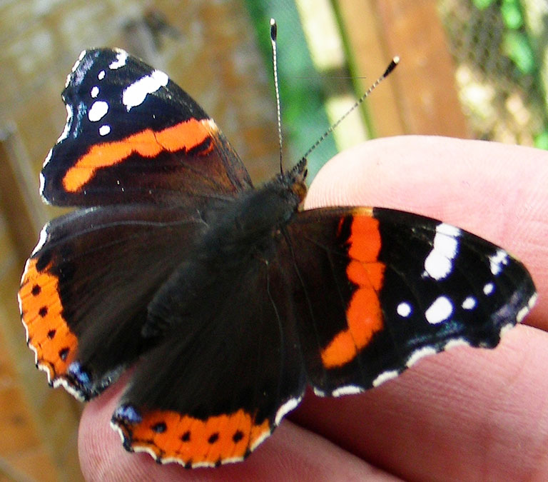 admiral butterfly on finger