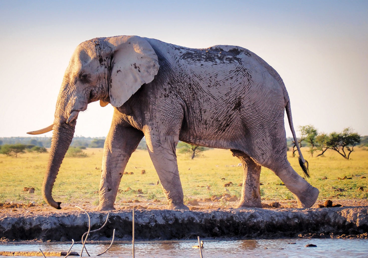 African elephant covered in grey mud