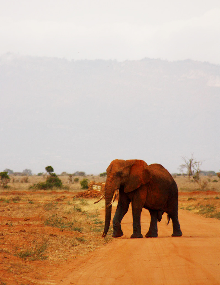 African elephant crossing road