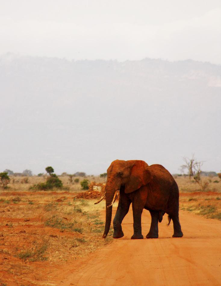 African elephant crossing road