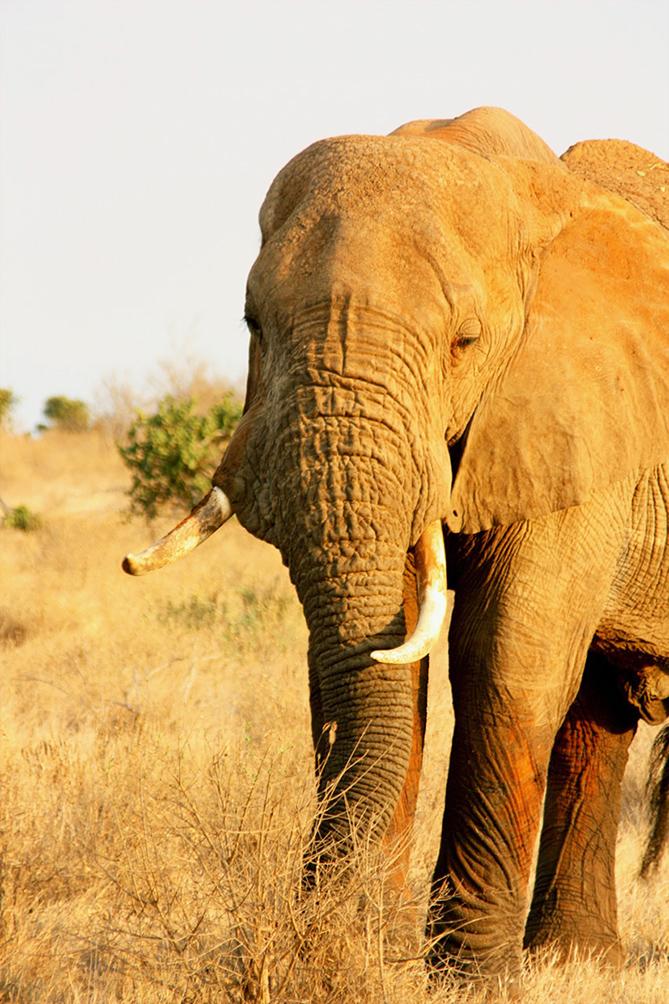 African elephant Savannah