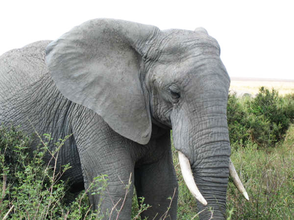 African elephant male photo
