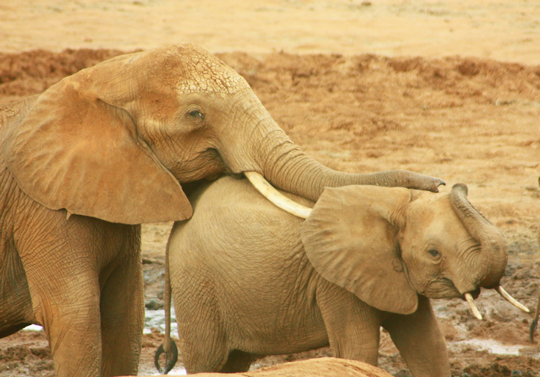 female African elephant and child