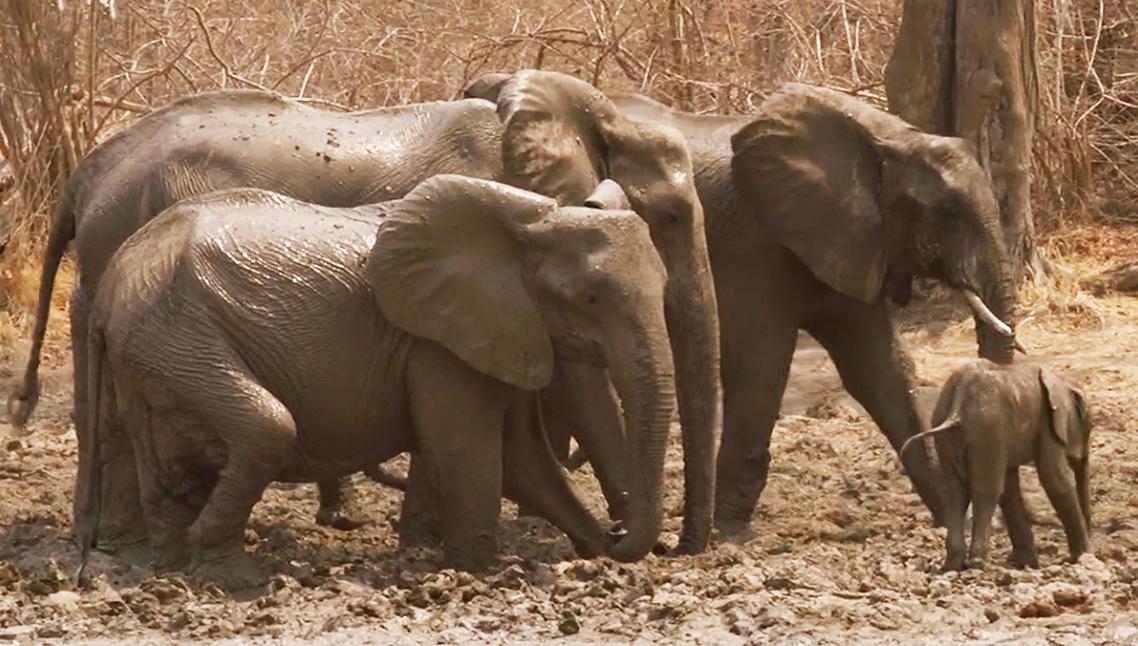 African elehphant taking a mud bath