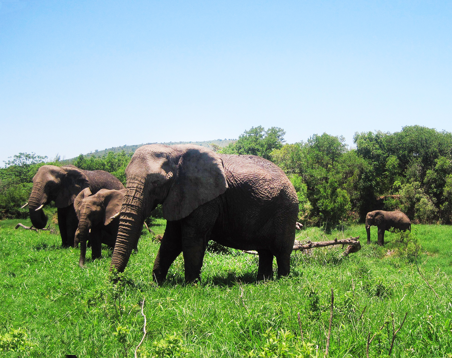 African elephants in nature